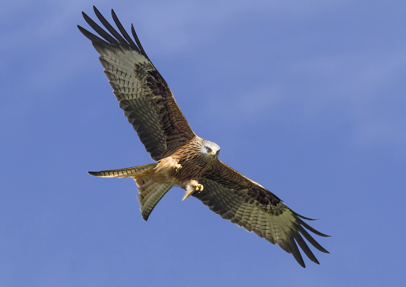 18 RED KITE COMING IN FOR THE KILL by Glenn Welch