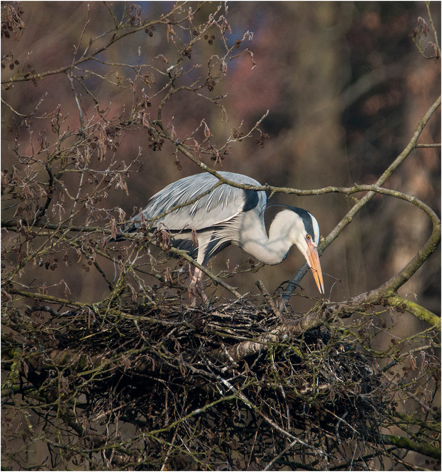 18 GREY HERON TIDYING HER NEST by Colin Burgess
