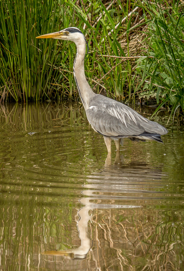 17 HERON by Tony Hill