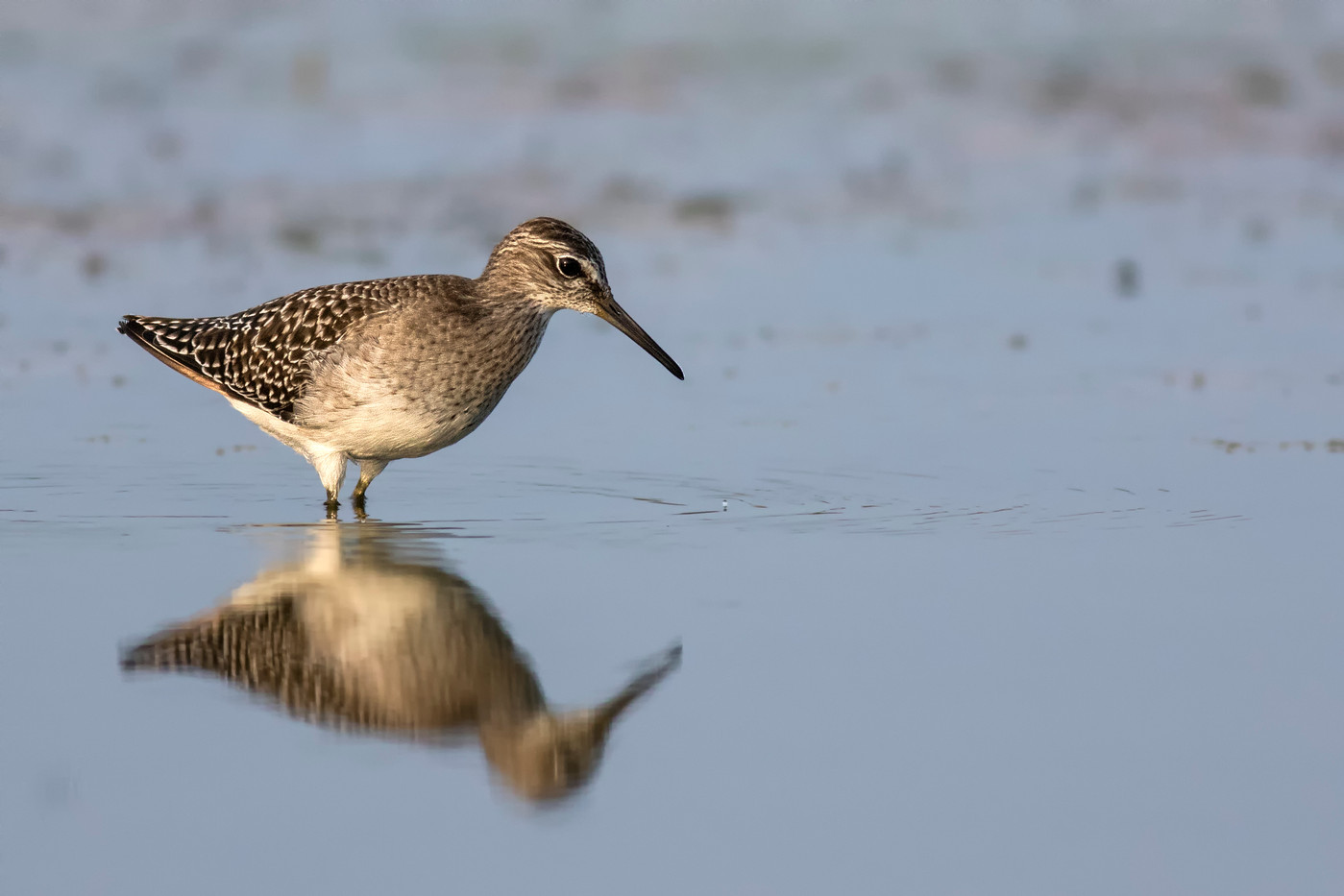 17 (PRINT) WOOD SANDPIPER by Glenn Welch