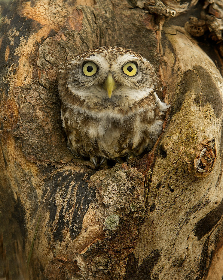 18 LITTLE OWL IN NEST HOLE by John Hunt