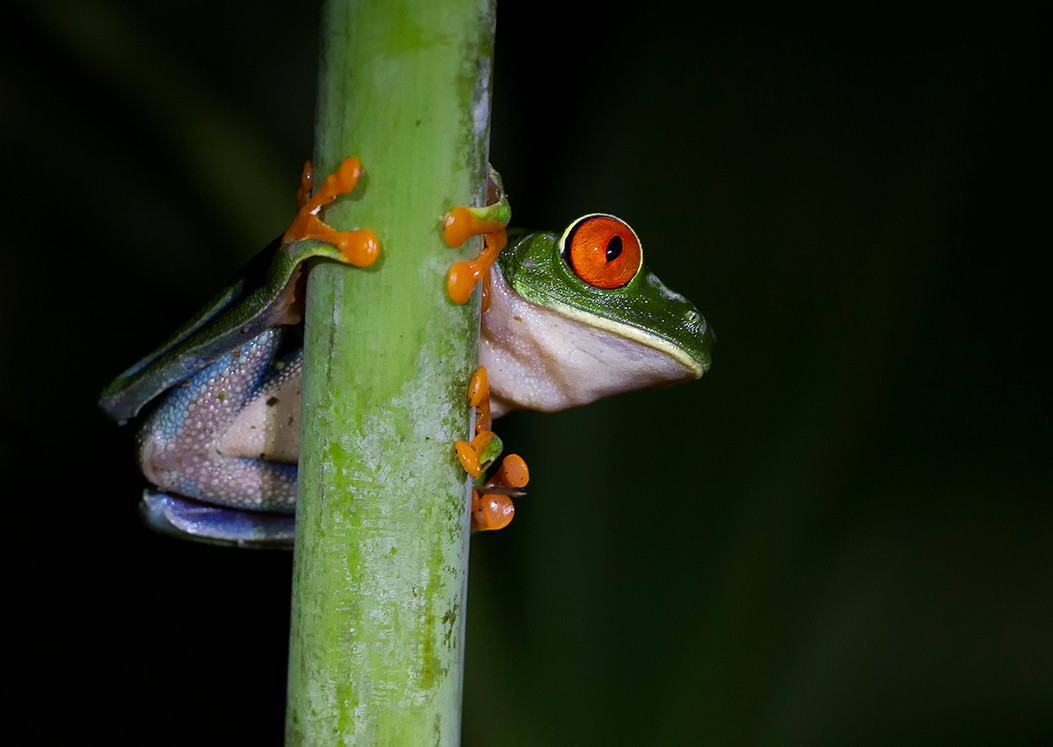 19 (PRINT) RED EYED TREE FROG by Glenn Welch