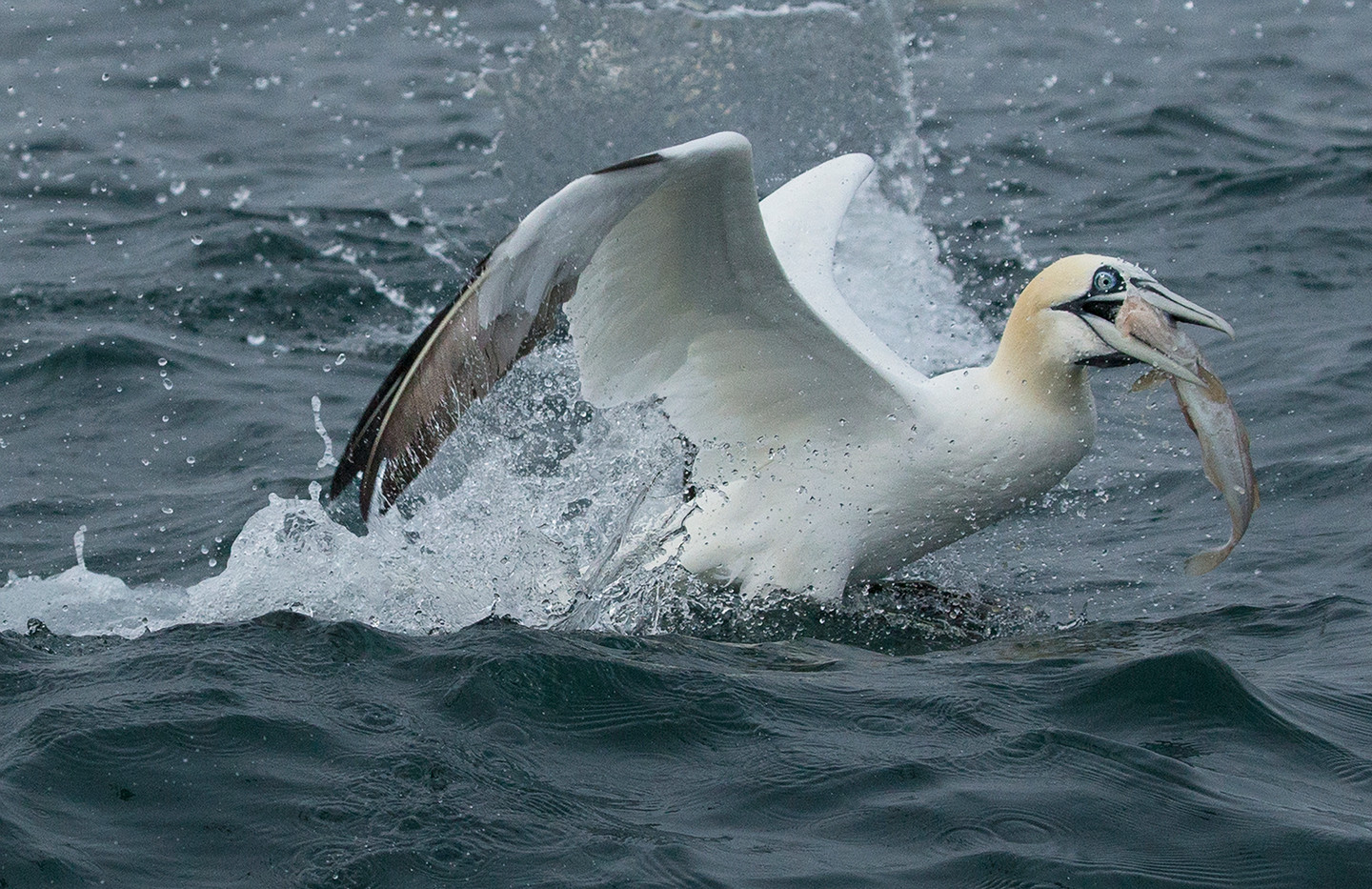 17 GANNET WITH SUCCESSFUL CATCH by John Hunt