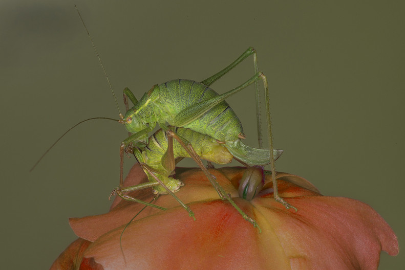 18 SPECKLED BUSH CRICKETS MATING by Alan Cork