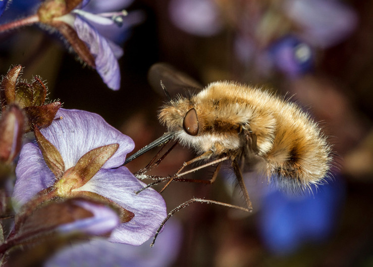 18 HOVERING BEE FLY by Roger Wates