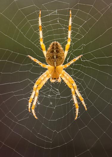 15 ORB SPIDER ON WINDOW by Pam Sherren