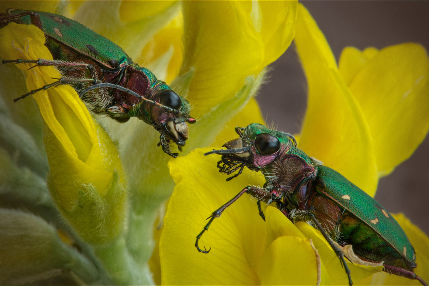 GROUP 1 16 TIGER BEETLES, CICINDELA CAMPESTRIS, MEET by Alan Cork