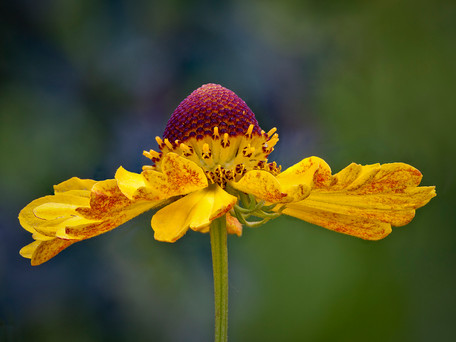 HELENIUM IN PROFILE by Roger Wates