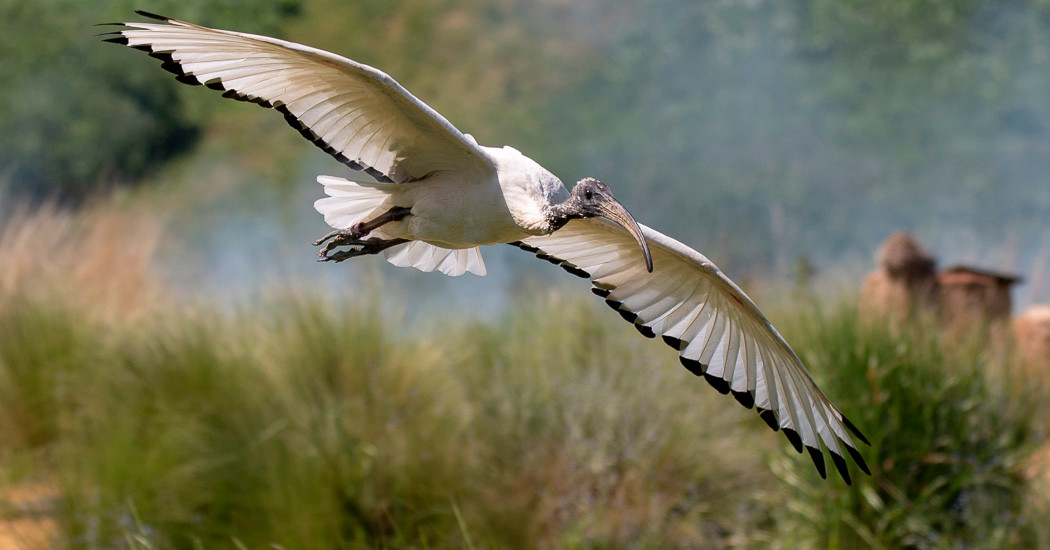 17 SACRED IBIS by Ray Crowle