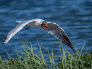17 LOW FLYING GULL by Roger Wates