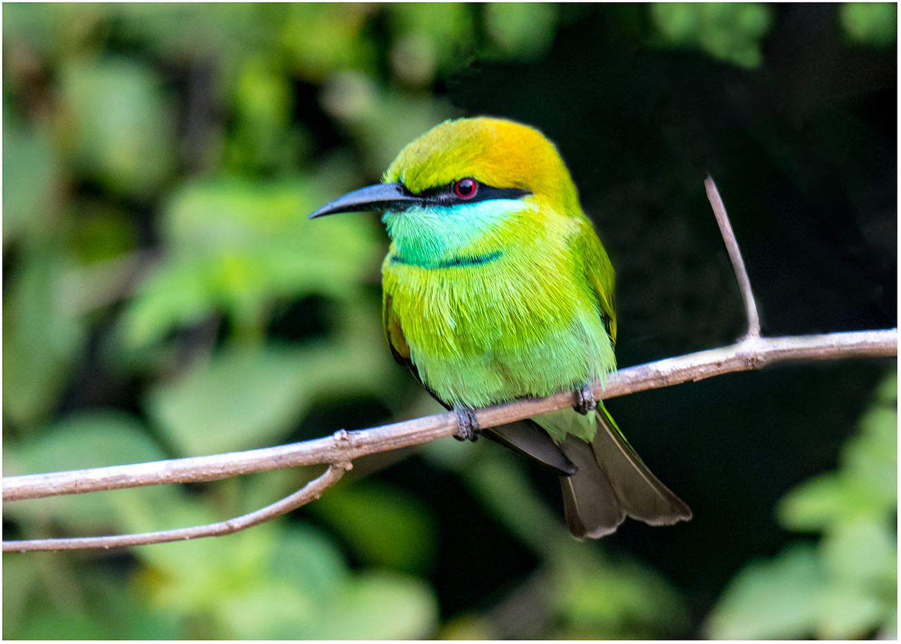 16 LITTLE GREEN BEE-EATER by David Parkinson