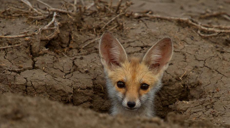 17 BENGAL FOX CUB by Sue Pennicott