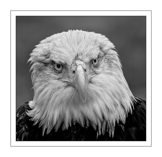 18 AMERICAN BALD EAGLE by Mike Shave