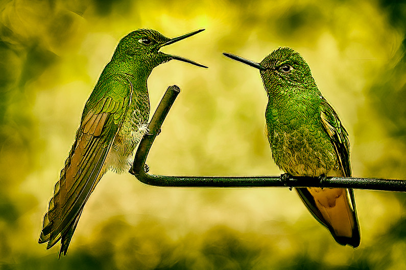 15 TALKING HUMMINGBIRDS by Rabah Ichadadene
