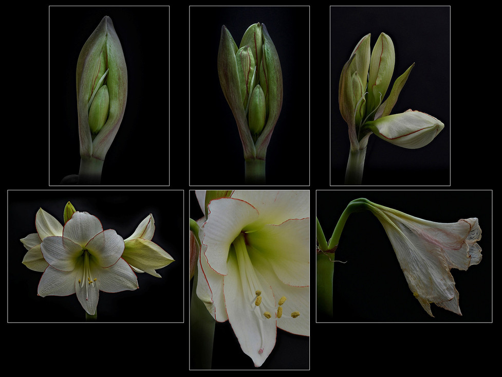 18 AMARYLLIS, LIFE OF A FLOWER SPIKE by Alan Cork