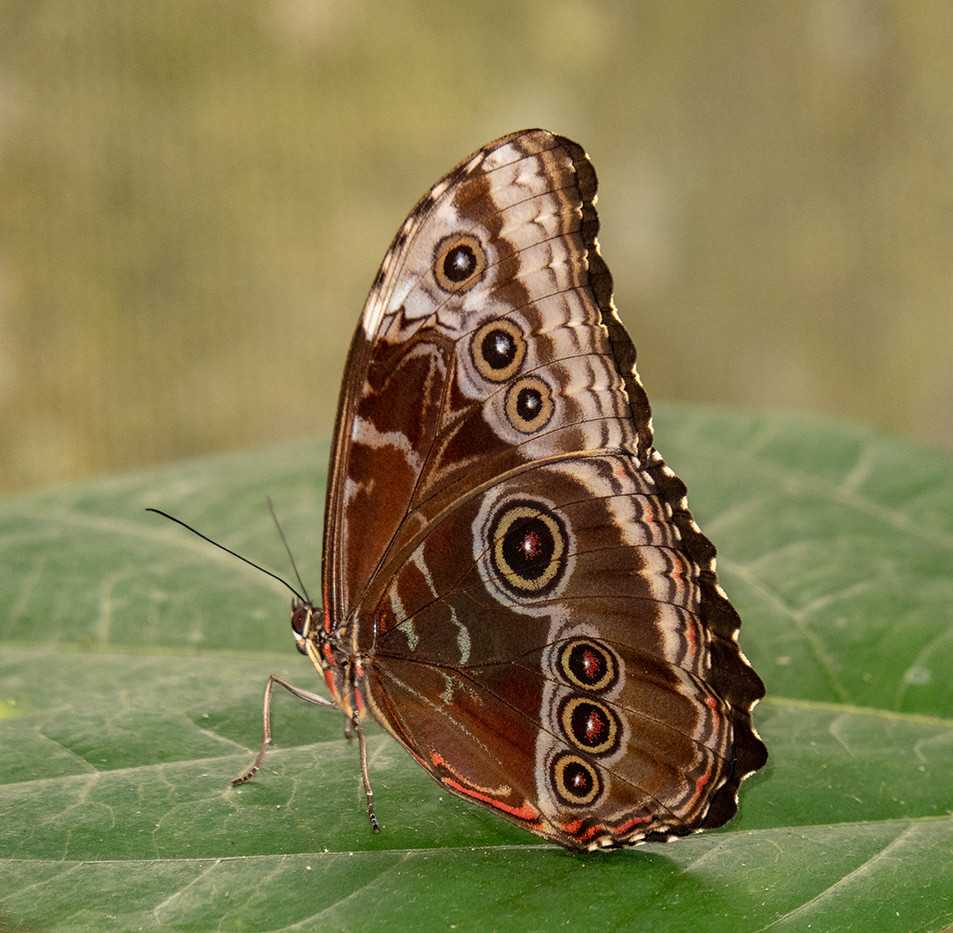 16 BLUE MORPHO BUTTERFLY by David Parkinson