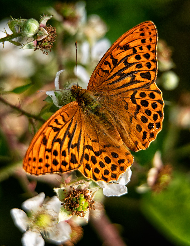 16 (PRINT) SILVER WASHED FRITILLARY by Steve Oakes