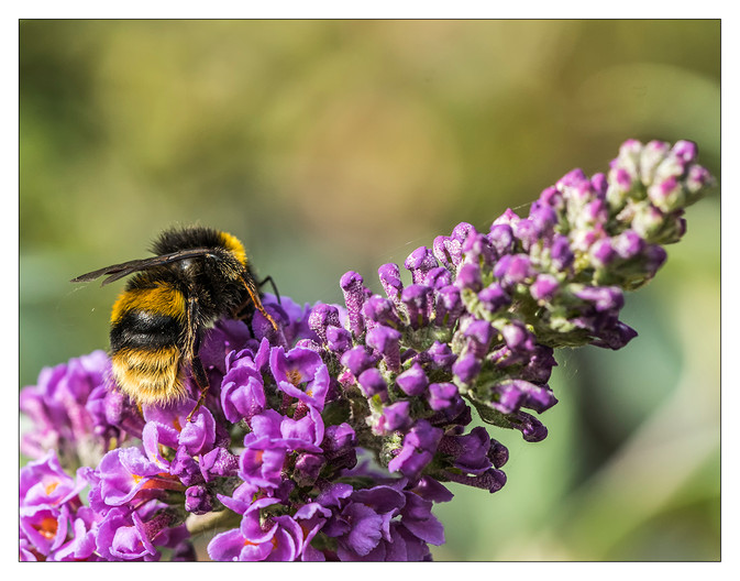18 B IS FOR BUDDLEIA by Steve Oakes