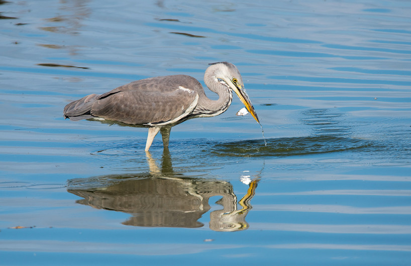 18 (PRINT) GREY HERON WITH CATCH by John Butler