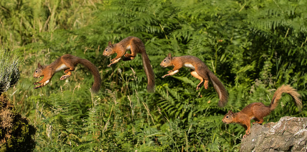 17 RED SQUIRREL JUMPING by Glenn Welch