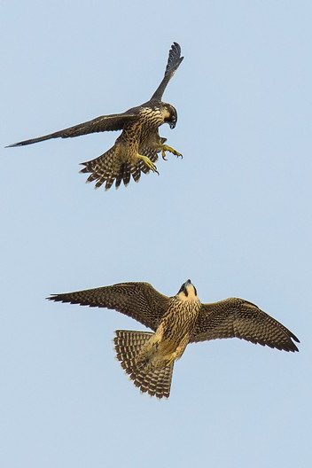 17 YOUNG PEREGRINES by Glenn Welch