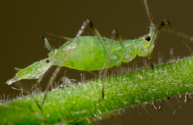 17 PEA APHID GIVING BIRTH by Roger Wates
