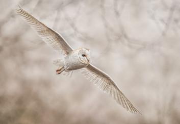 20 QUARTERING BARN OWL by David Godfrey