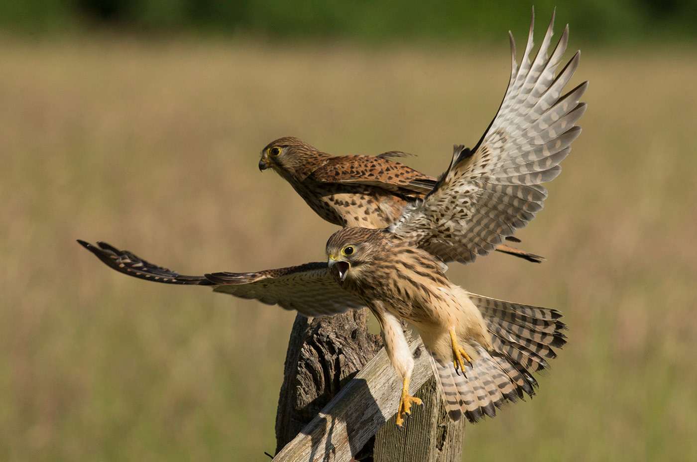17 KESTREL AND JUVENILE by John Hunt