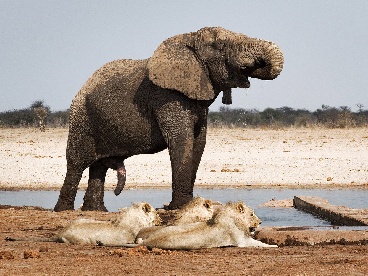 13 MALE ELEPHANT DOMINATING LIONS IN ETOSHA by Peter Tulloch
