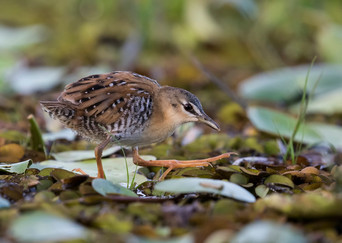 16 YELLOW BREASTED CRAKE by Glenn Welch