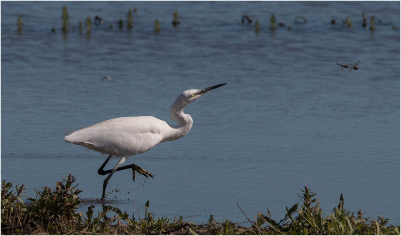 17 LITTLE EGRET CHASING LUNCH by Colin Burgess