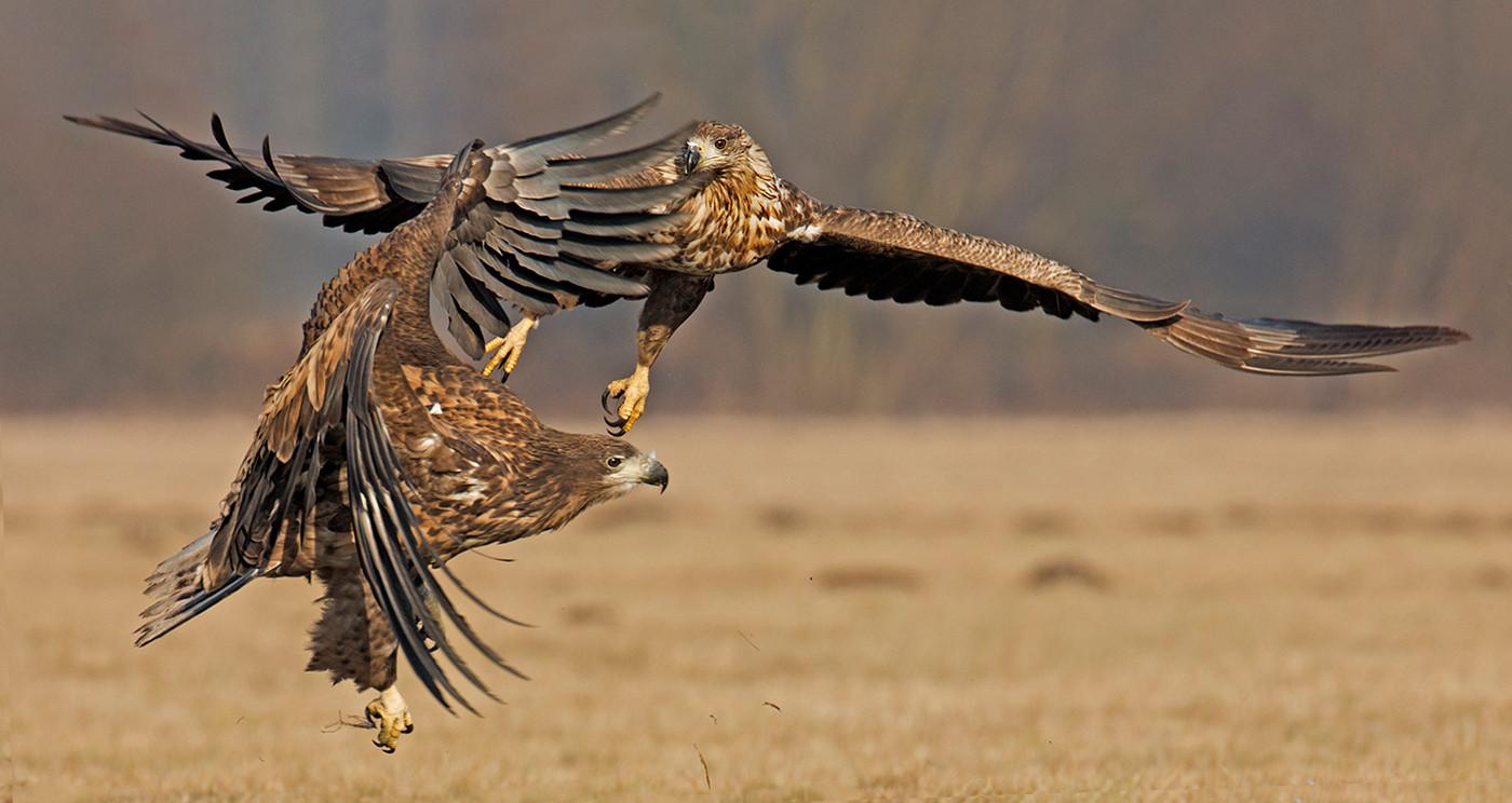 17 EAGLES CLASH by John Hunt