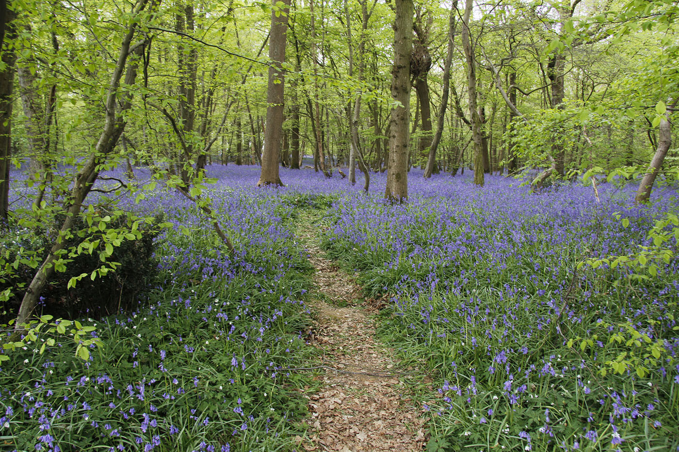 17 BLUEBELLS AT BATES GREEN FARM ARLINGTON by Trevor Brand