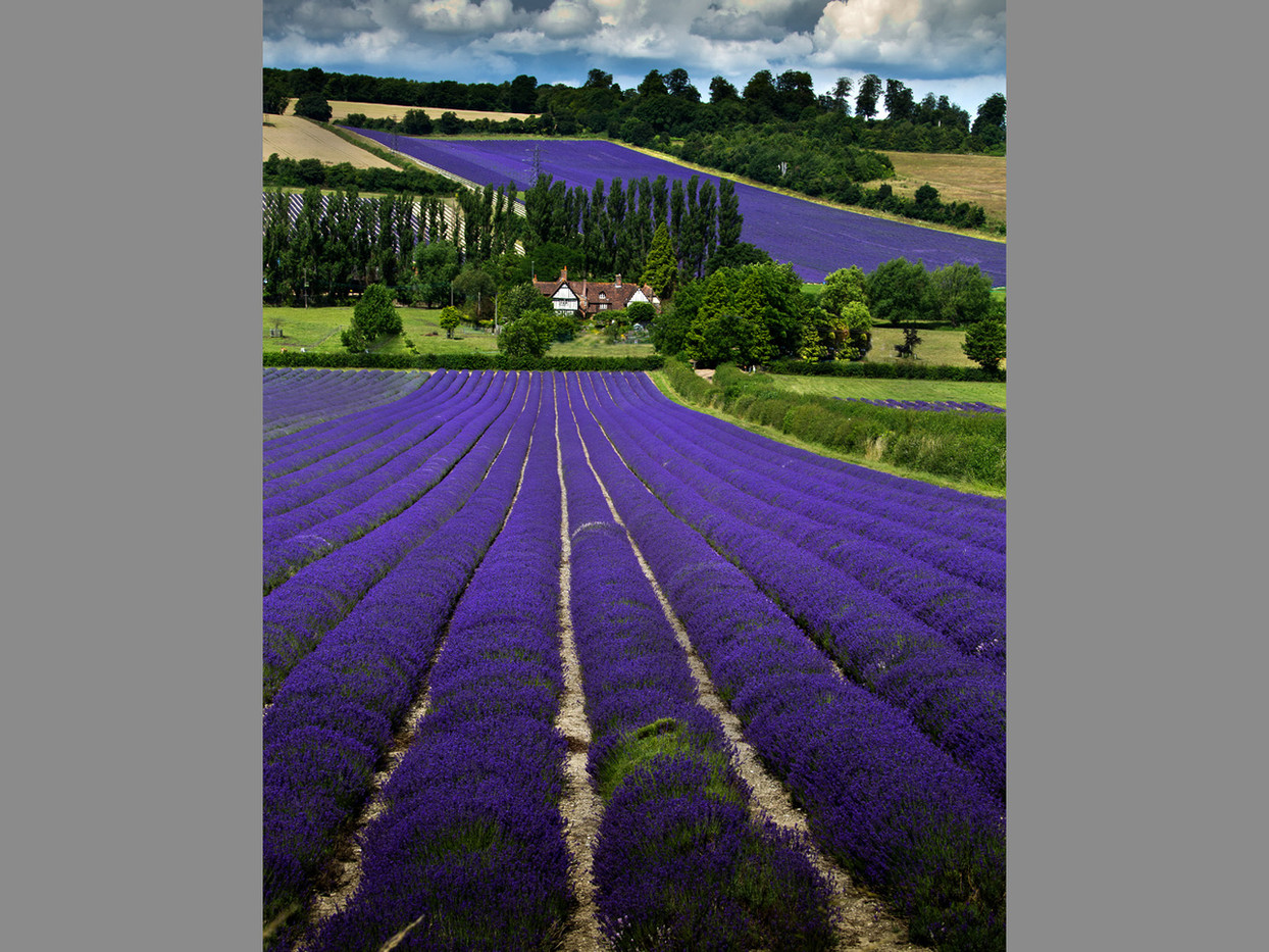 GROUP 1 16 LAVENDER FARM by Denys Clarke