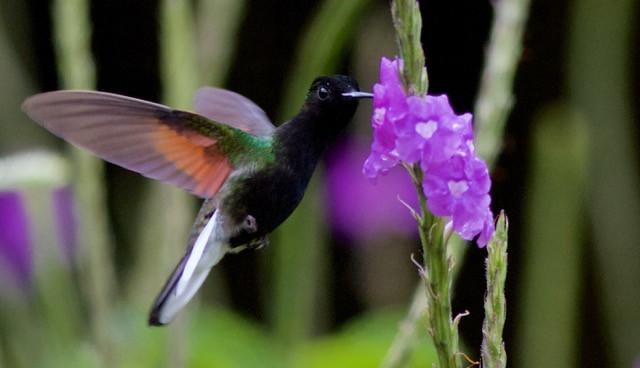 19 BLACK-BELLIED HUMMINGBIRD by Simon Lane