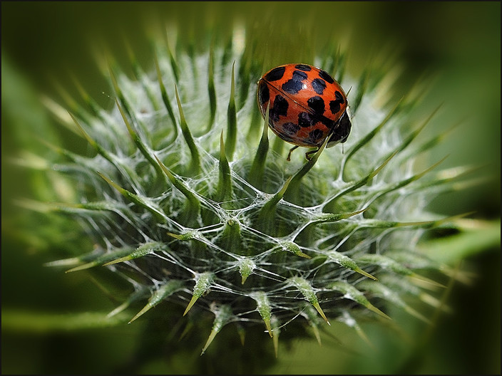 18 LADYBIRD ON THISTLE by Mick Dudley