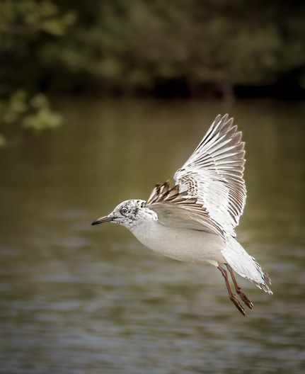 17 JUVENILE SEAGULL IN FLIGHT by Tony Hill