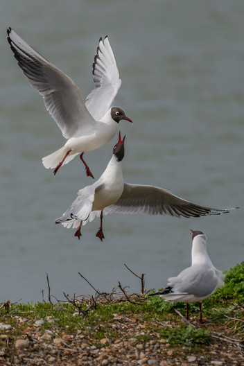 20 BLACK-HEADED GULLS SOLICITING A MEAL by Alan Cork