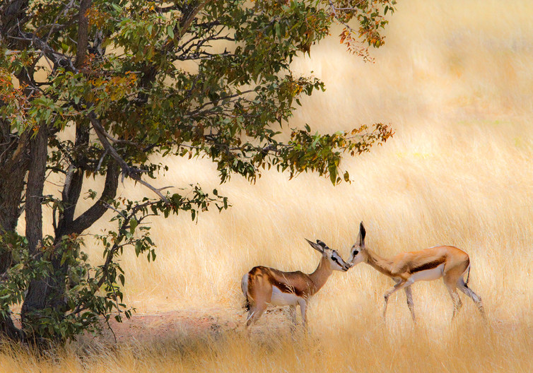 18 SPRINGBOK GREETING by Peter Tulloch