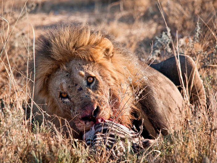 16 WATCHFUL LION AT ZEBRA KILL by Peter Tulloch