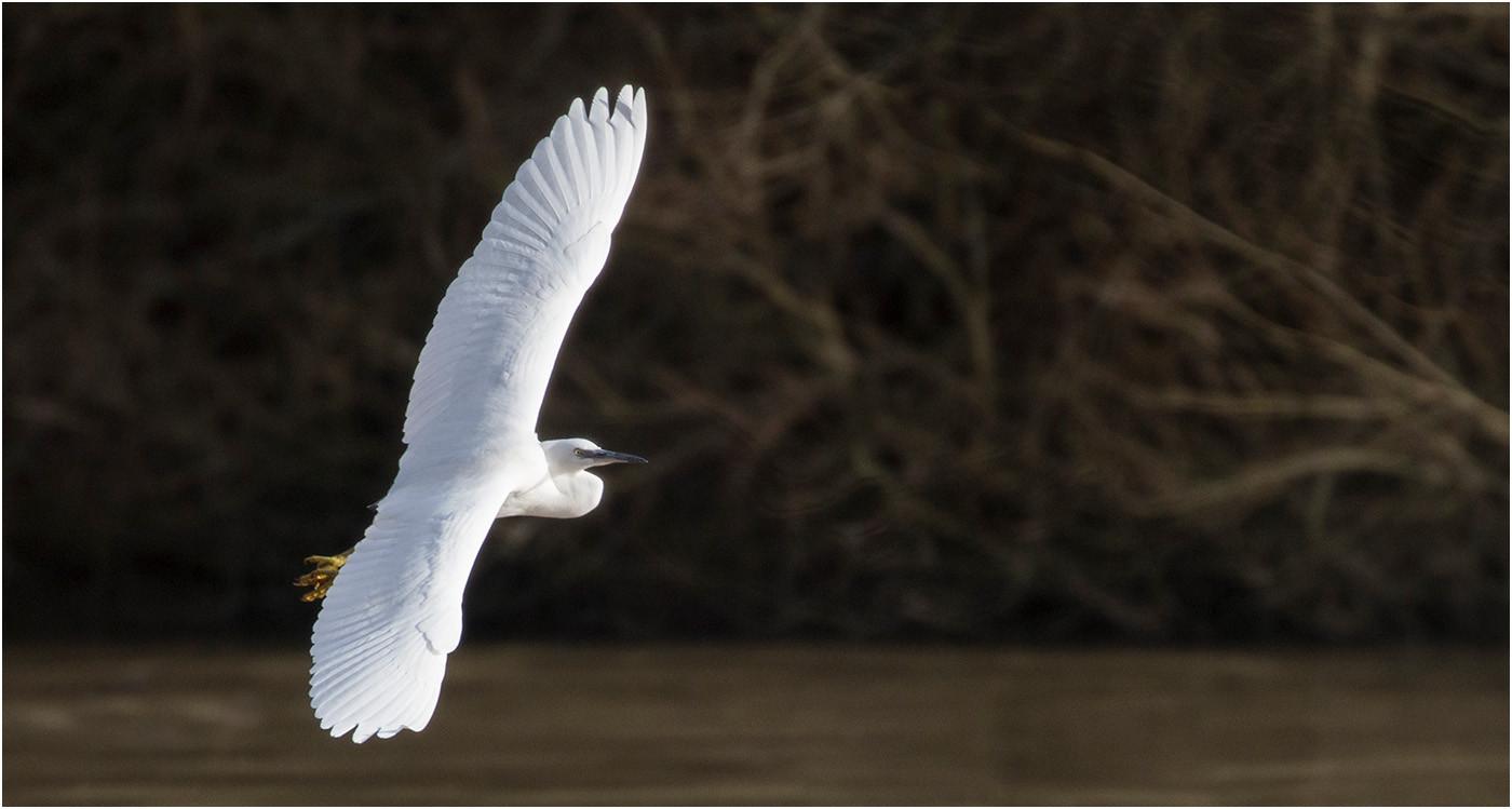 17 LITTLE EGRET IN FLIGHT by Colin Burgess