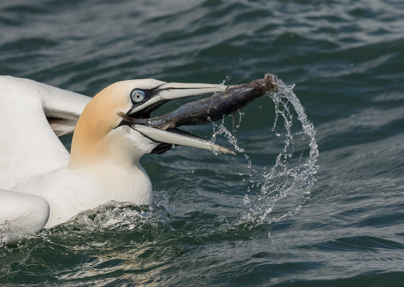 20 GANNET WITH CATCH by Glenn Welch