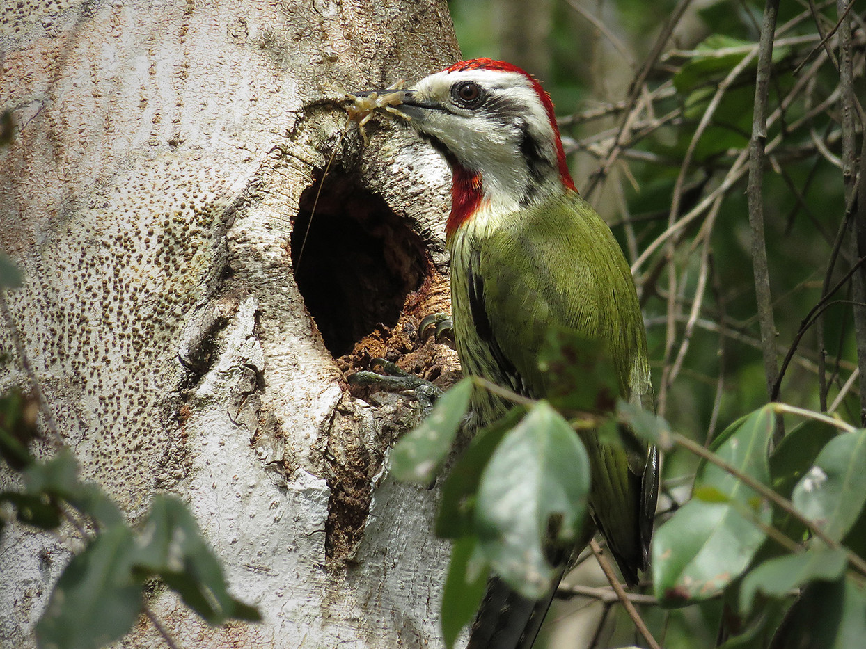 18 GREEN WOODPECKER by Cathie Agates
