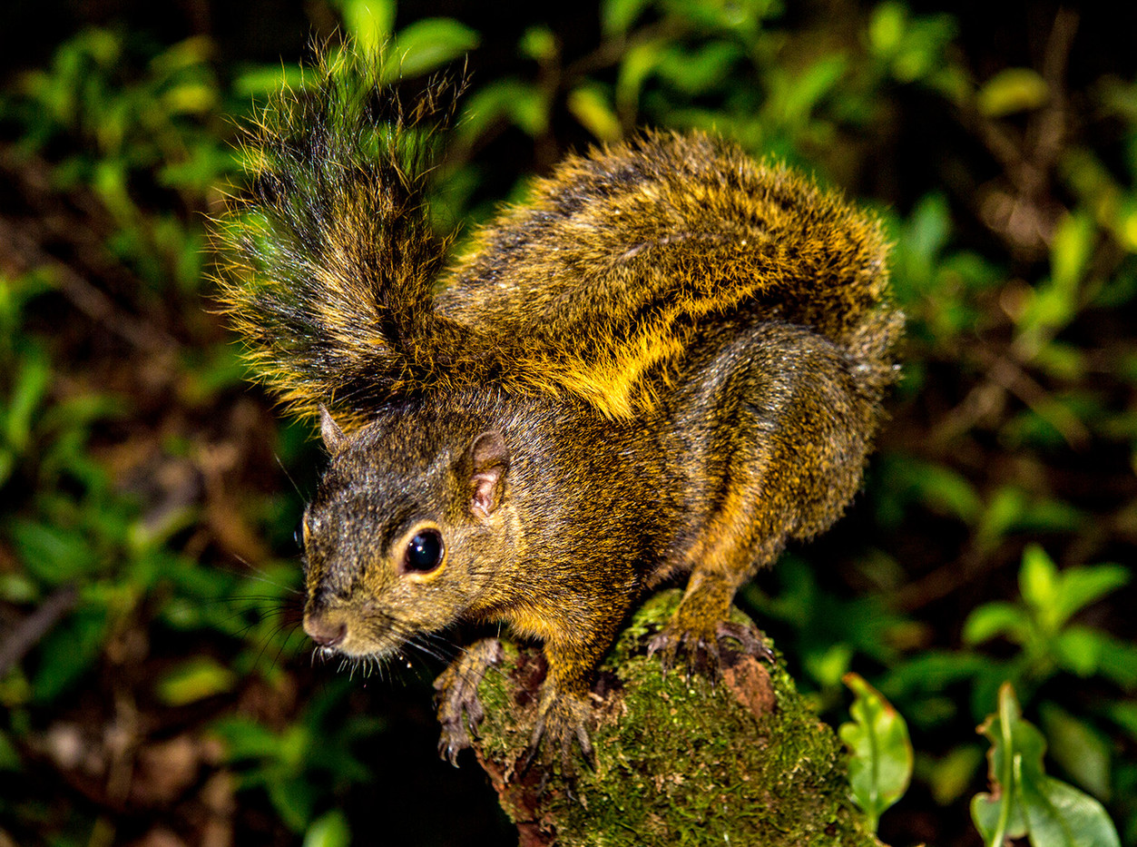 18 RED TAILED SQUIRREL by David Parkinson