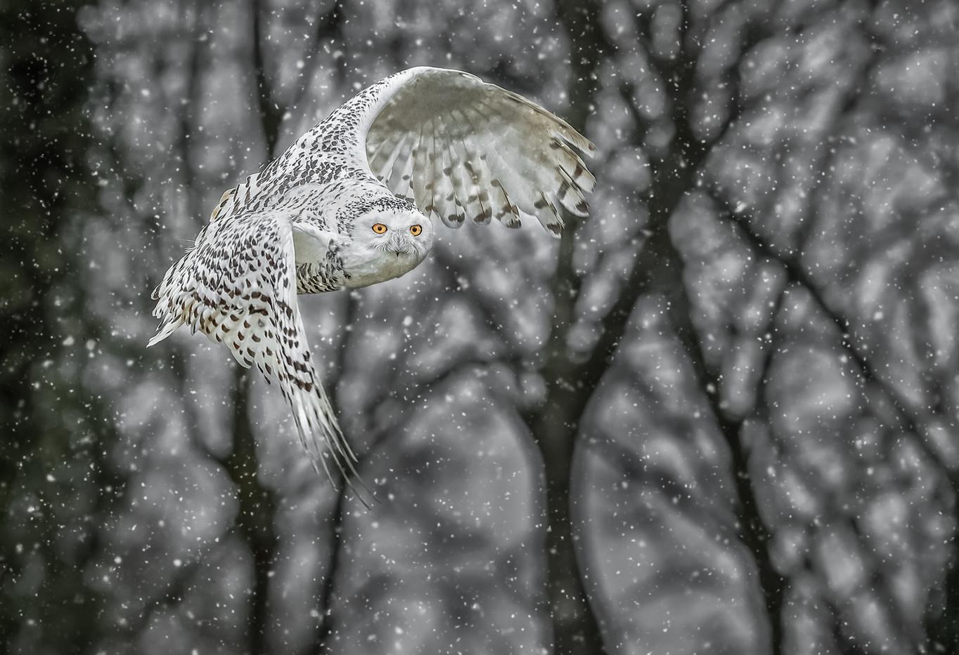 20 SNOWY OWL IN SNOW by David Godfrey