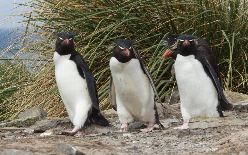 16 TRIO OF MACARONI PENGUINS SEAWARD-BOUND by John Hunt