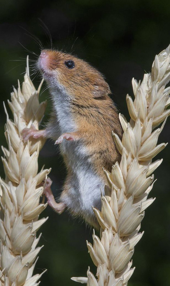 15 HARVEST MOUSE ON THE LOOKOUT by Alan Cork