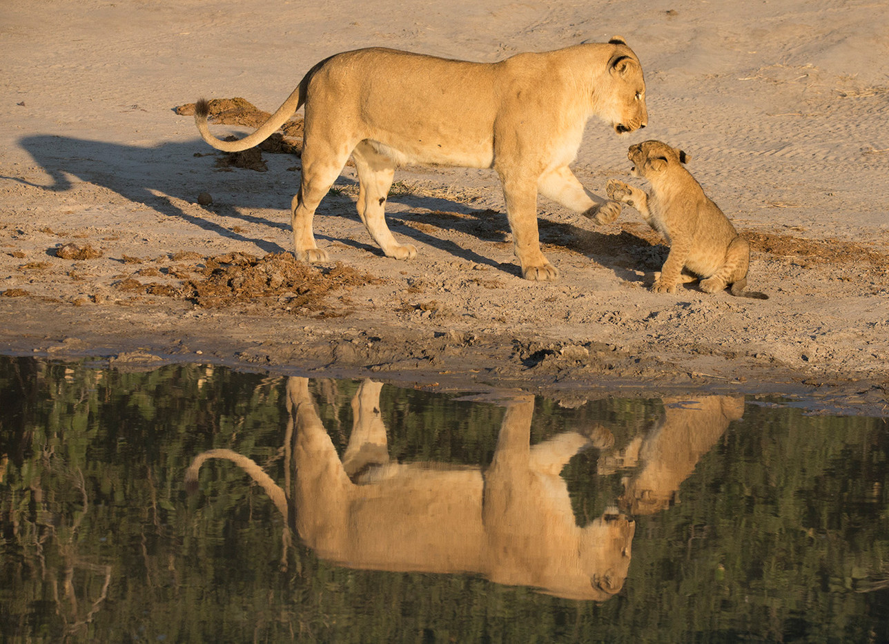 15 LION AND CUB REFLECTION by John Hunt
