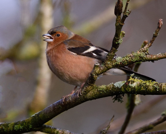 15 CHAFFINCH by Ray Crowle