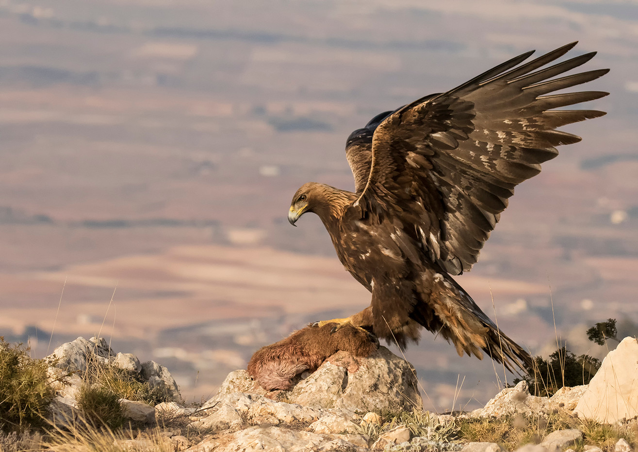 18 GOLDEN EAGLE WITH PREY by Glenn Welch